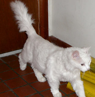 Fluffy, the little white lion, is on the prowl