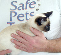 using two hands to lift a Siamese